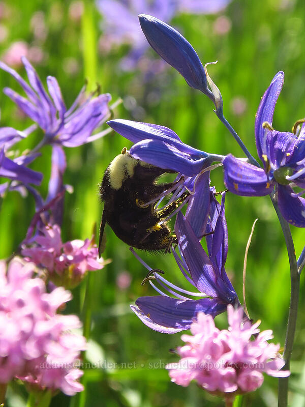 bumblebee on camas (Bombus sp., Camassia quamash) [Camassia Natural Area, West Linn, Oregon]