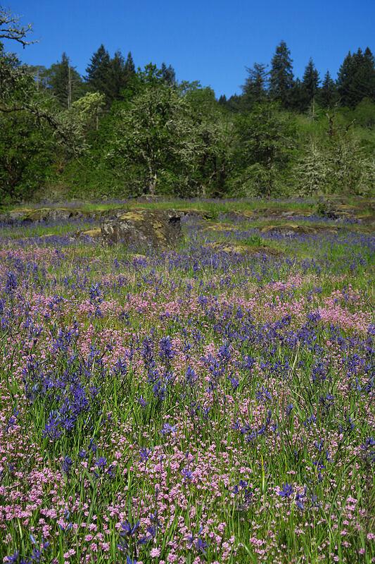 camas & rosy plectritis (Camassia quamash, Plectritis congesta) [Camassia Natural Area, West Linn, Oregon]