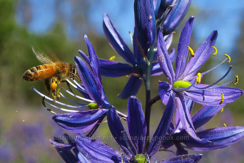 honeybee on camas (Apis mellifera, Camassia quamash) [Camassia Natural Area, West Linn, Oregon]