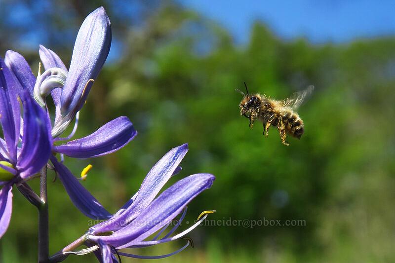 bee & camas (Camassia quamash) [Camassia Natural Area, West Linn, Oregon]