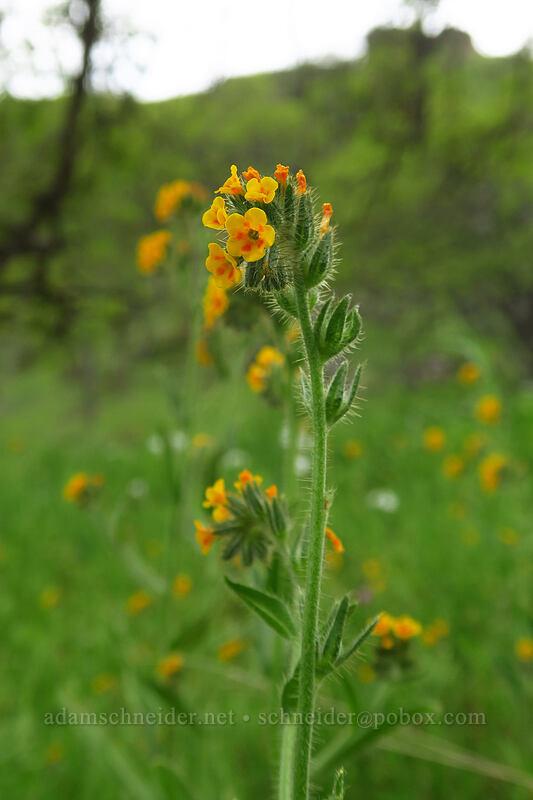 Menzie's fiddleneck (Amsinckia menziesii) [Chenoweth Tableland, Wasco County, Oregon]