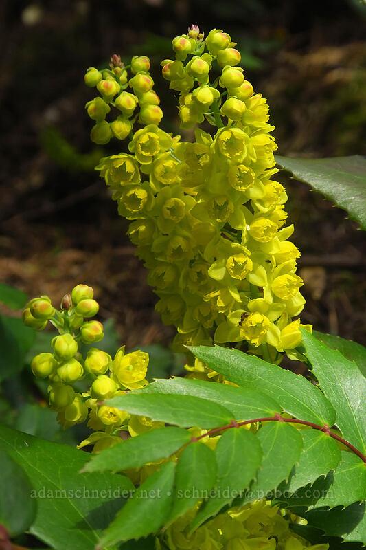 Cascade Oregon-grape flowers (Mahonia nervosa (Berberis nervosa)) [Augspurger Trail, Columbia River Gorge, Washington]