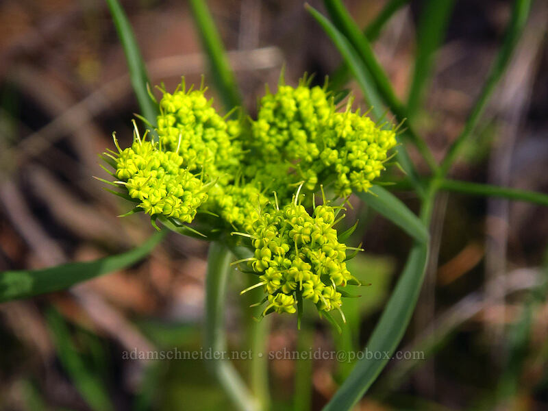 nine-leaf desert parsley (Lomatium triternatum) [Augspurger Trail, Columbia River Gorge, Washington]