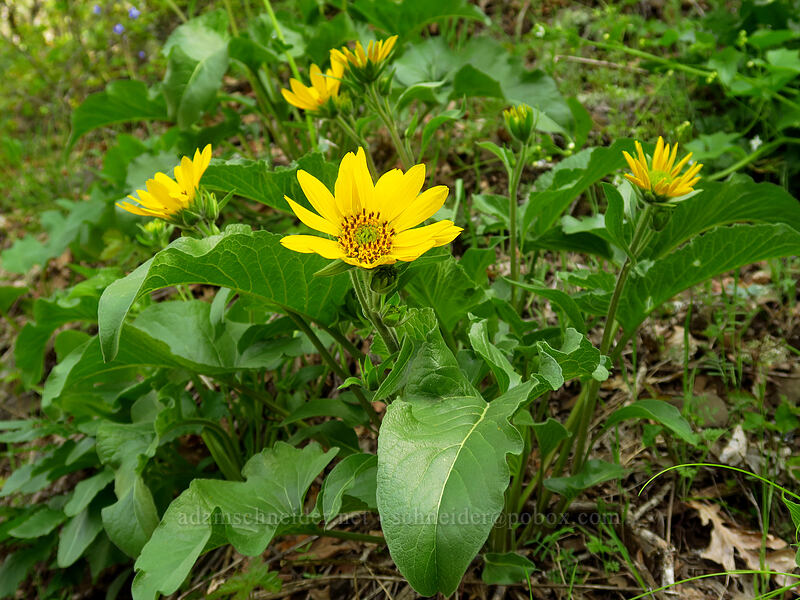 balsamroot (Balsamorhiza deltoidea) [Augspurger Trail, Columbia River Gorge, Washington]