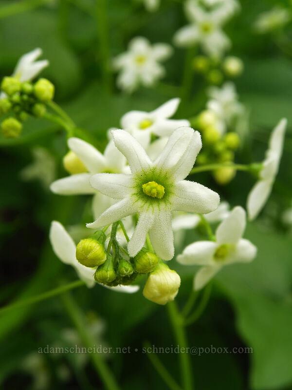manroot flowers (Marah oreganus) [Augspurger Trail, Columbia River Gorge, Washington]