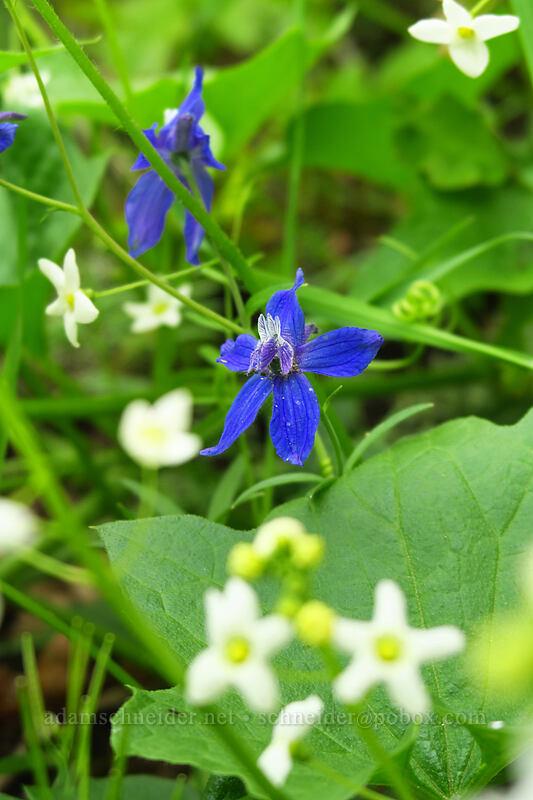 larkspur & manroot (Delphinium nuttallianum, Marah oreganus) [Augspurger Trail, Columbia River Gorge, Washington]