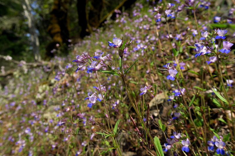 small-flowered blue-eyed-Mary (Collinsia parviflora) [Augspurger Trail, Columbia River Gorge, Washington]