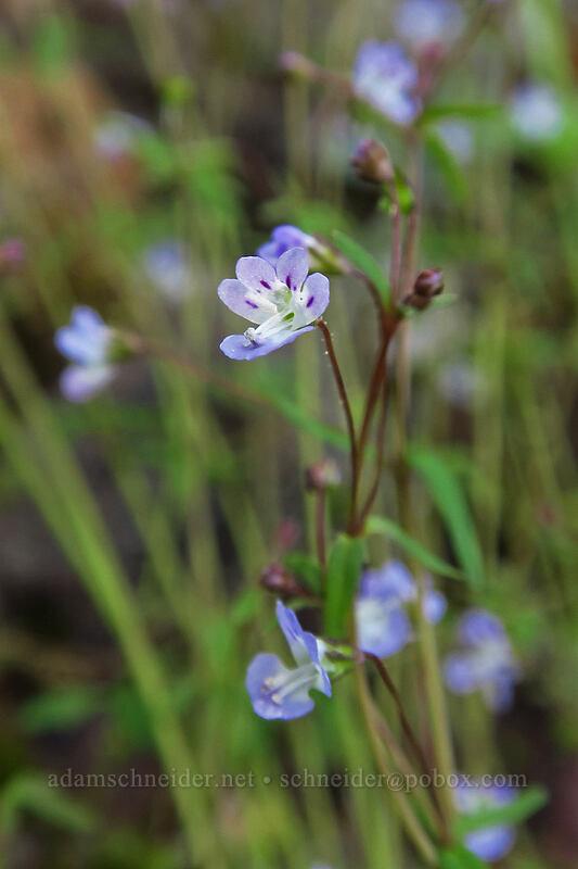 small-flowered tonella (Tonella tenella) [Augspurger Trail, Columbia River Gorge, Washington]