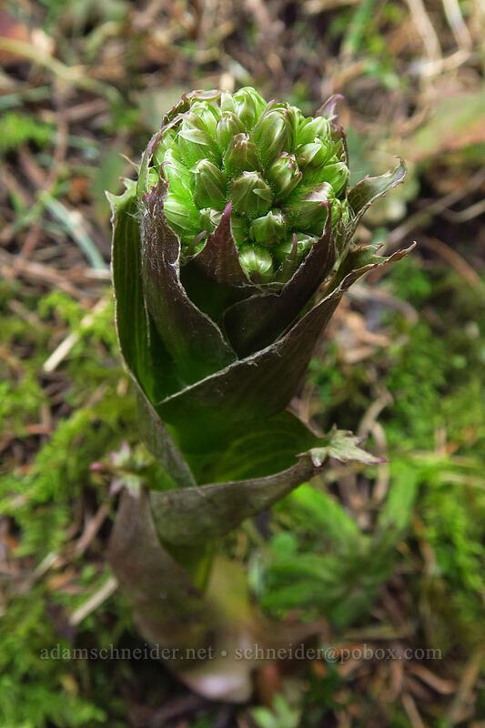 sweet coltsfoot, budding (Petasites frigidus) [Dog-Augspurger Tie Trail, Columbia River Gorge, Washington]
