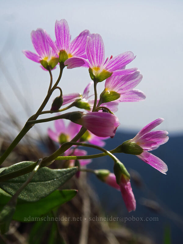 lance-leaf spring-beauty (Claytonia lanceolata) [Dog-Augspurger Tie Trail, Columbia River Gorge, Washington]