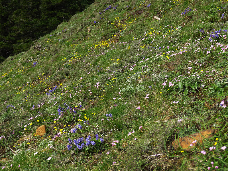 wildflowers (Synthyris missurica ssp. stellata (Synthyris stellata), Claytonia lanceolata, Crocidium multicaule) [Dog Mountain summit, Columbia River Gorge, Washington]