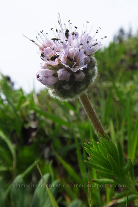 ball-head waterleaf (Hydrophyllum capitatum var. thompsonii) [Dog Mountain, Columbia River Gorge, Washington]