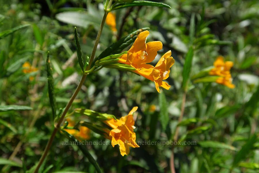 sticky monkeyflower (Diplacus aurantiacus (Mimulus aurantiacus)) [East Dunne Avenue, Morgan Hill, California]