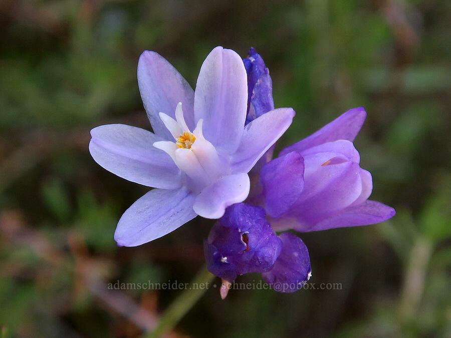 blue dicks (Dichelostemma capitatum) [High Peaks Trail, Pinnacles National Park, California]