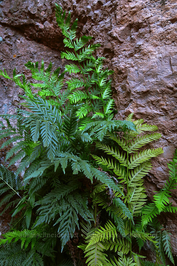 giant chain fern (Woodwardia fimbriata) [Moses Spring Trail, Pinnacles National Park, California]