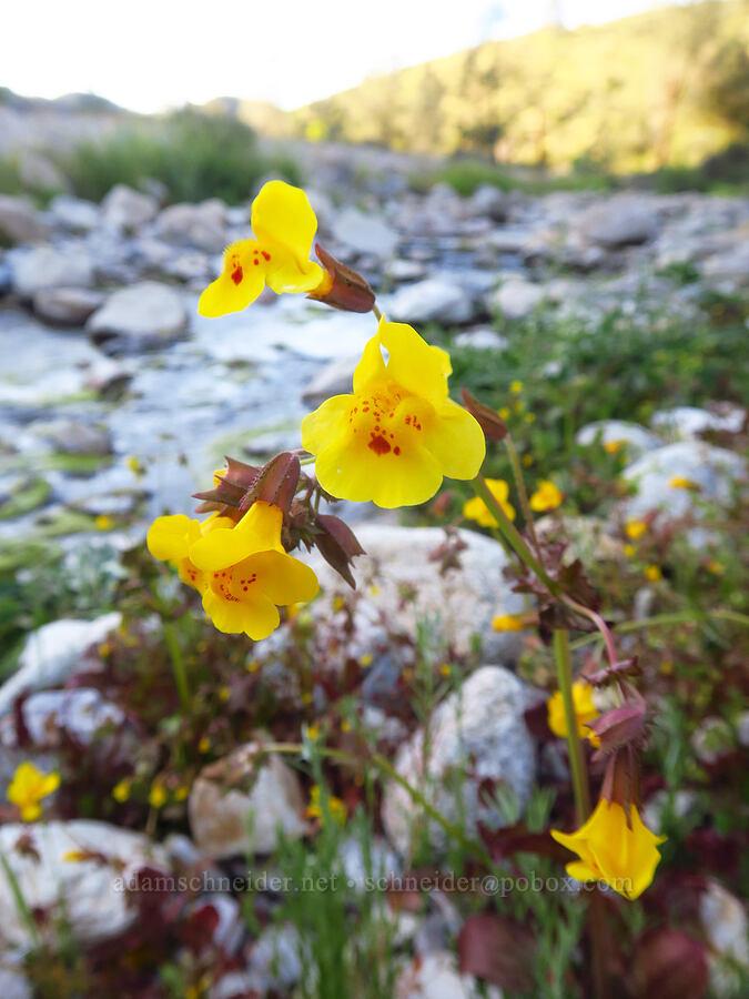 yellow monkeyflower (Erythranthe guttata (Mimulus guttatus)) [Chalone Creek, Pinnacles National Park, California]