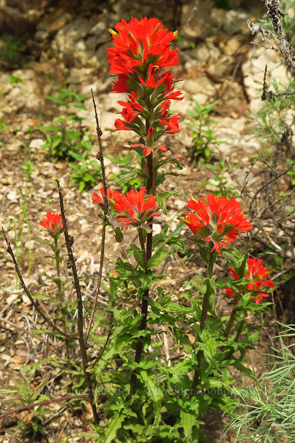 coast paintbrush (Castilleja affinis) [Skyline-to-the-Sea Trail, Big Basin Redwoods State Park, California]