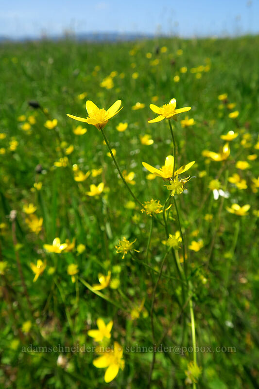 western buttercups (Ranunculus occidentalis) [Baskett Slough NWR, Polk County, Oregon]
