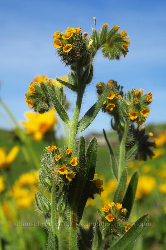 fiddleneck (Amsinckia menziesii) [Dalles Mountain Ranch, Columbia Hills State Park, Washington]