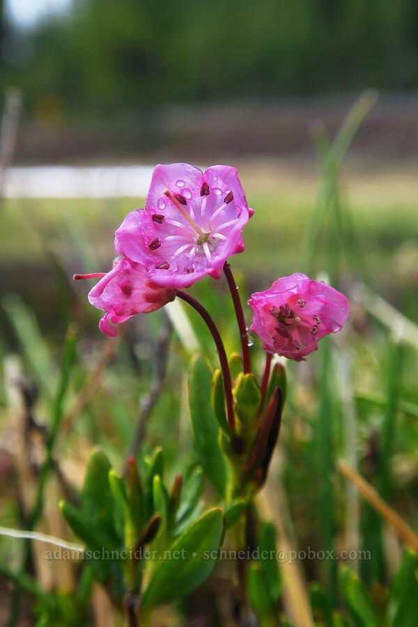 alpine bog-laurel (Kalmia microphylla (Kalmia polifolia)) [Sparks Lake, Deschutes National Forest, Oregon]