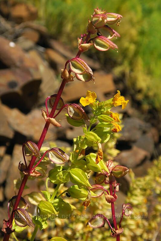 yellow monkeyflower (Erythranthe guttata (Mimulus guttatus)) [Leidl Ridge, Klickitat Wildlife Area, Washington]