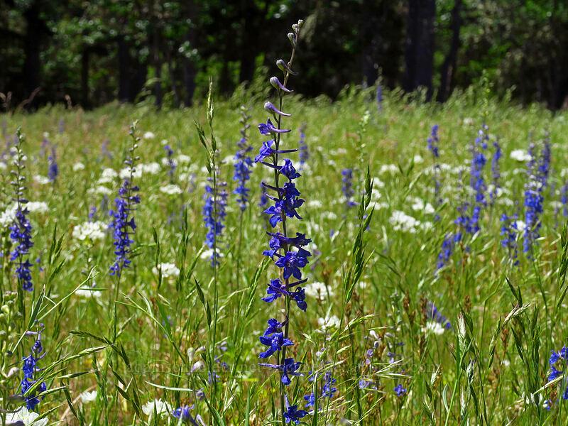 meadow larkspur & white brodiaea (Delphinium distichum, Triteleia hyacinthina) [Brooks Memorial State Park, Klickitat County, Washington]