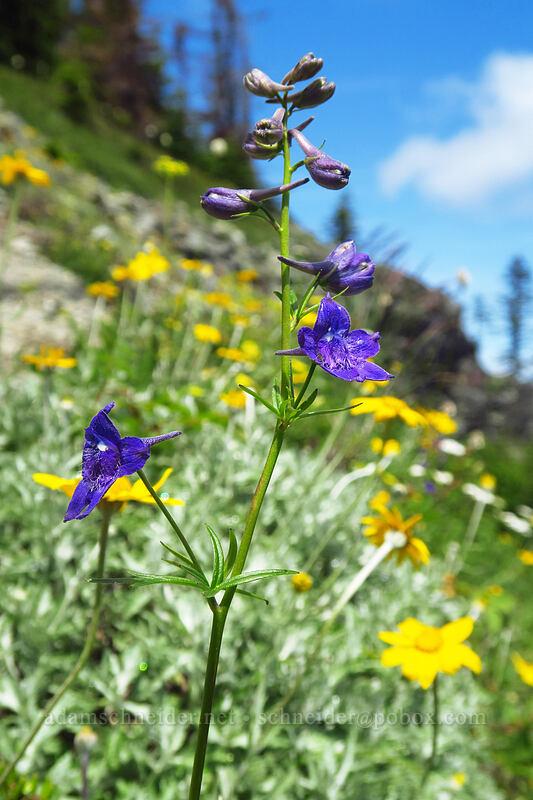 Nuttall's larkspur & Oregon sunshine (Delphinium nuttallii, Eriophyllum lanatum) [Ed's Trail, Gifford Pinchot National Forest, Washington]