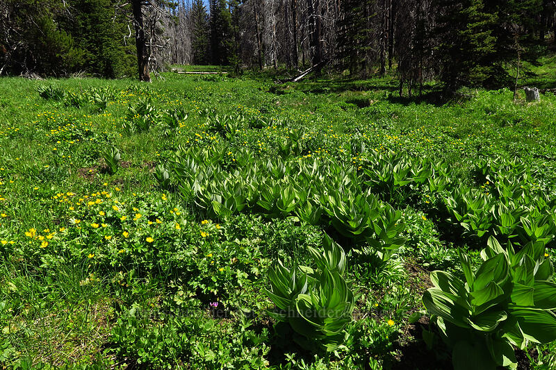 corn lilies & swamp buttercups (Veratrum californicum, Ranunculus orthorhynchus var. platyphyllus) [Upper Naneum Meadow, Wenatchee National Forest, Washington]