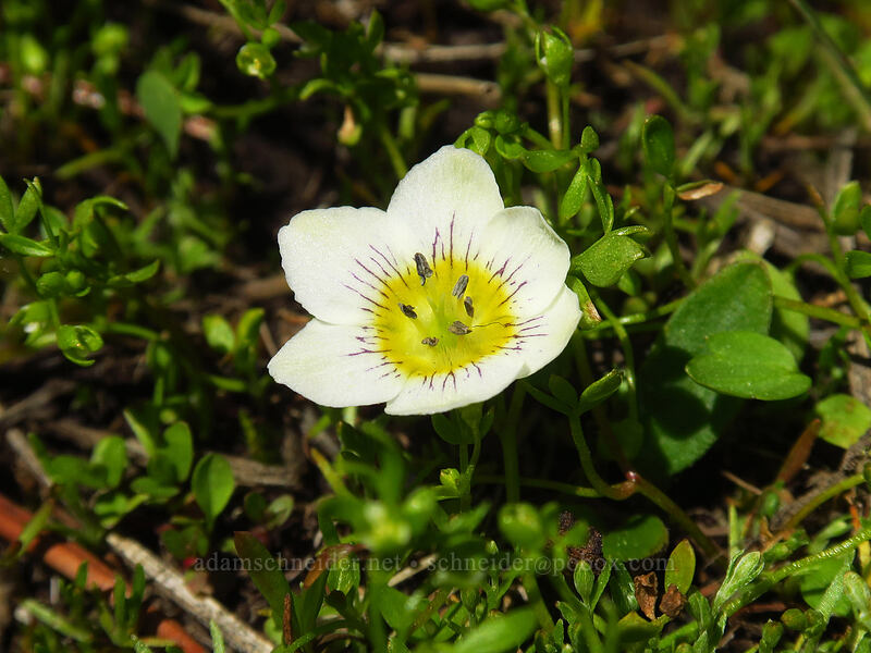 dwarf hesperochiron (Hesperochiron pumilus) [Upper Naneum Meadow, Wenatchee National Forest, Washington]
