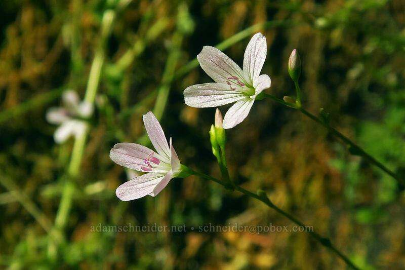 little-leaf spring-beauty (Montia parvifolia (Claytonia parvifolia)) [Multnomah Falls Trail, Mt. Hood National Forest, Oregon]