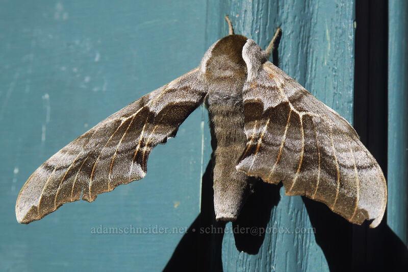 one-eyed sphinx moth (Smerinthus cerisyi) [Rico Hotel, Rico, Colorado]