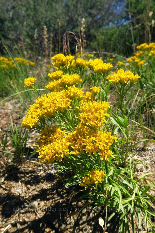 rock goldenrod (Petradoria pumila) [Cedar Point, Black Canyon of the Gunnison National Park, Colorado]