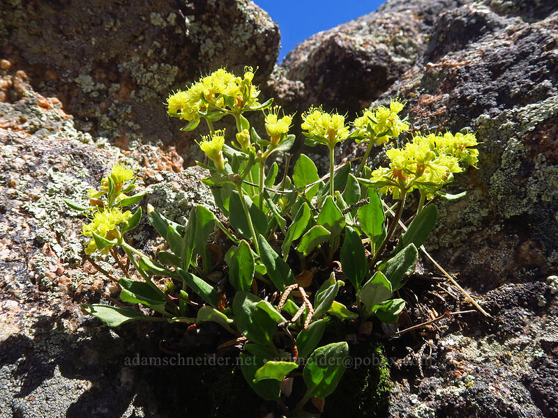 alpine golden buckwheat (Eriogonum flavum var. flavum) [Cedar Point, Black Canyon of the Gunnison National Park, Colorado]