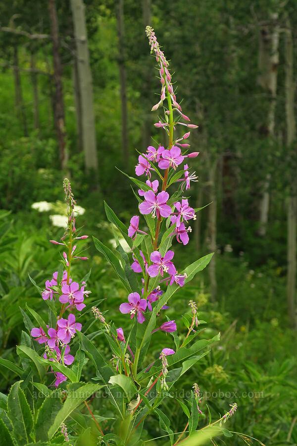 fireweed (Chamerion angustifolium (Epilobium angustifolium)) [Gothic Road, Gunnison National Forest, Colorado]
