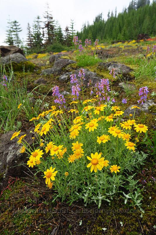 Oregon sunshine & penstemon (Eriophyllum lanatum, Penstemon procerus) [Forest Road 1168, Willamette National Forest, Oregon]