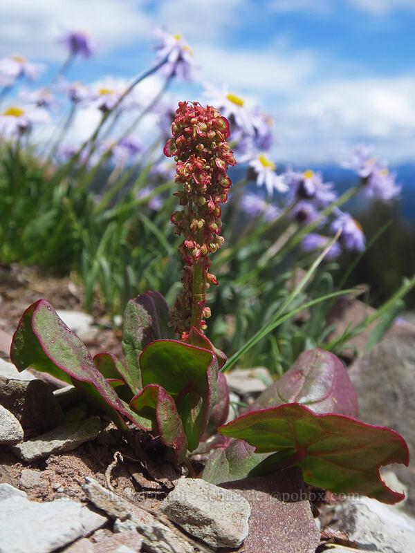 alpine sorrel (Oxyria digyna) [northwest of Kennebec Pass, San Juan National Forest, Colorado]