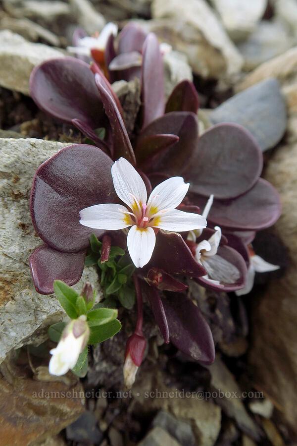 alpine spring-beauty (Claytonia megarhiza) [Sharkstooth Trail, San Juan National Forest, Colorado]