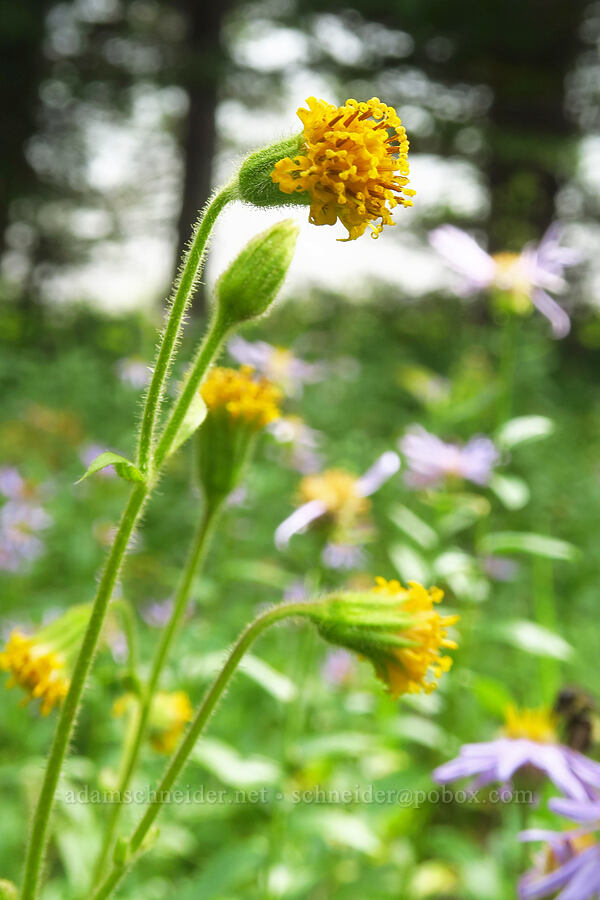 Parry's arnica (Arnica parryi) [Pacific Crest Trail, Goat Rocks Wilderness, Washington]