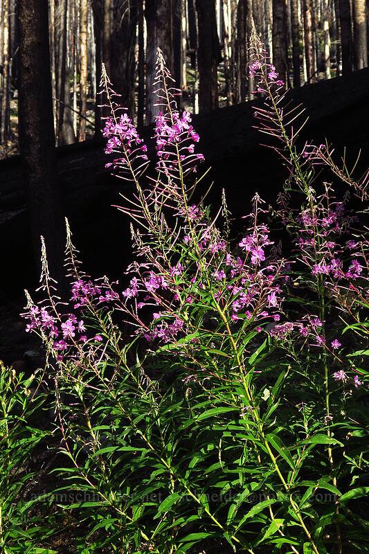 fireweed (Chamerion angustifolium (Epilobium angustifolium)) [Whitewater Trail, Mt. Jefferson Wilderness, Oregon]