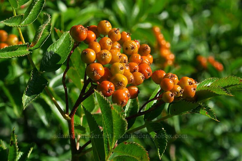 Cascade mountain-ash berries (Sorbus scopulina) [Timberline Trail, Mt. Hood National Forest, Oregon]
