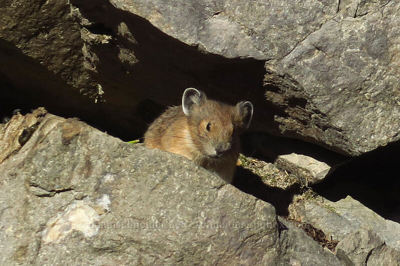 pika (Ochotona princeps) [Mowich Lake Trailhead, Mount Rainier National Park, Washington]