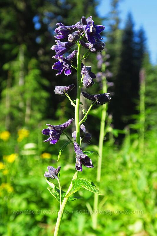 western larkspur (Delphinium glaucum) [Spray Park Trail, Mount Rainier National Park, Washington]