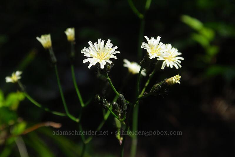 white hawkweed (Hieracium albiflorum) [Spray Park Trail, Mount Rainier National Park, Washington]