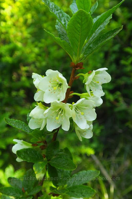 white rhododendron (Rhododendron albiflorum) [Spray Park Trail, Mount Rainier National Park, Washington]