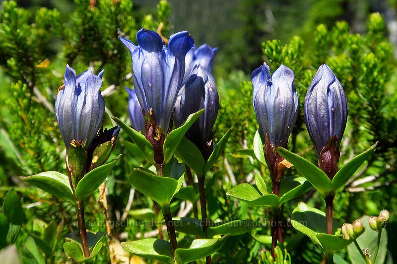 explorer's gentian (Gentiana calycosa) [Spray Park, Mount Rainier National Park, Washington]