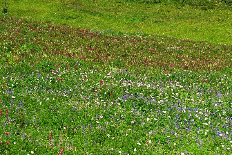 wildflowers (Lupinus latifolius, Erigeron glacialis var. glacialis, Castilleja parviflora var. oreopola, Pedicularis contorta, Bistorta bistortoides (Polygonum bistortoides)) [Spray Park, Mount Rainier National Park, Washington]