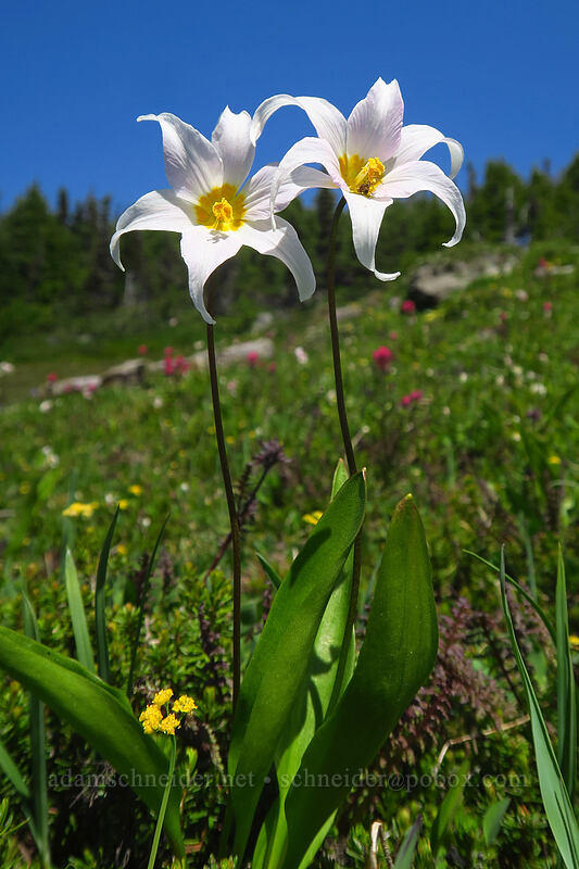 avalanche lilies (Erythronium montanum) [Spray Park Trail, Mount Rainier National Park, Washington]