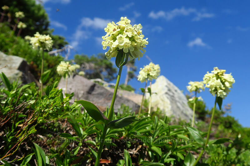yellow penstemon (Penstemon confertus) [Mt. Pleasant, Mount Rainier National Park, Washington]