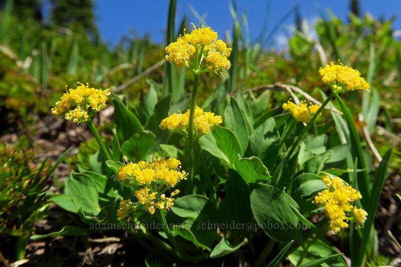 Strickland's umbrella-wort (Tauschia stricklandii) [Knapsack Pass Trail, Mount Rainier National Park, Washington]