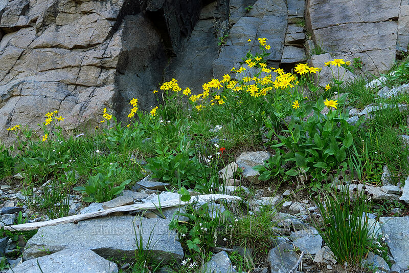 broad-leaf arnica (Arnica latifolia) [Knapsack Pass, Mount Rainier National Park, Washington]